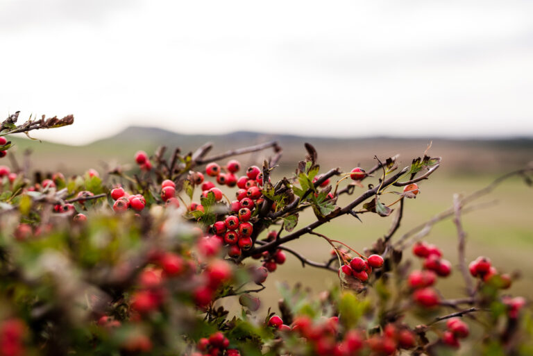 Tapnell Farm Hedgerow Berries along the trail