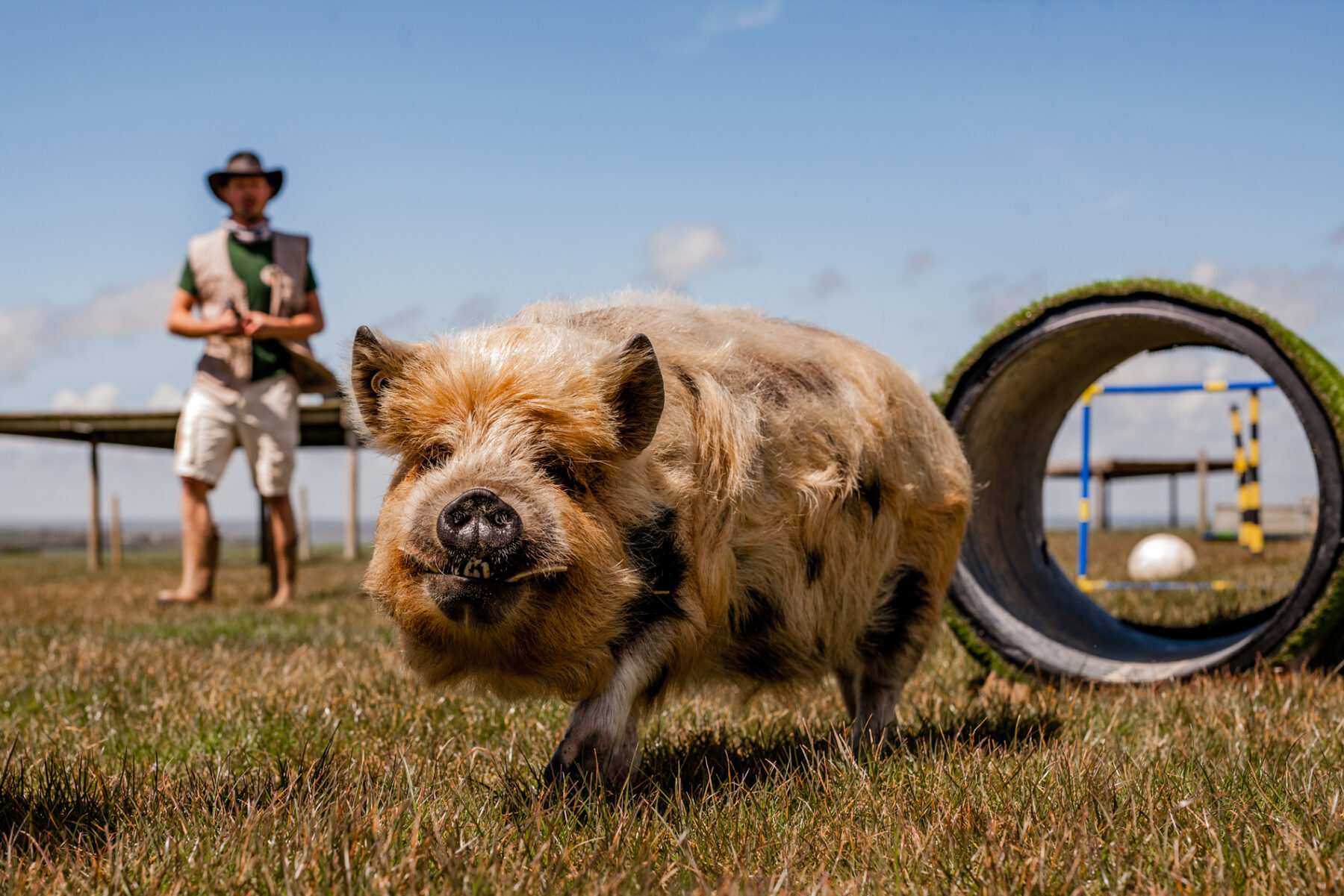 Pig at Tapnell Farm